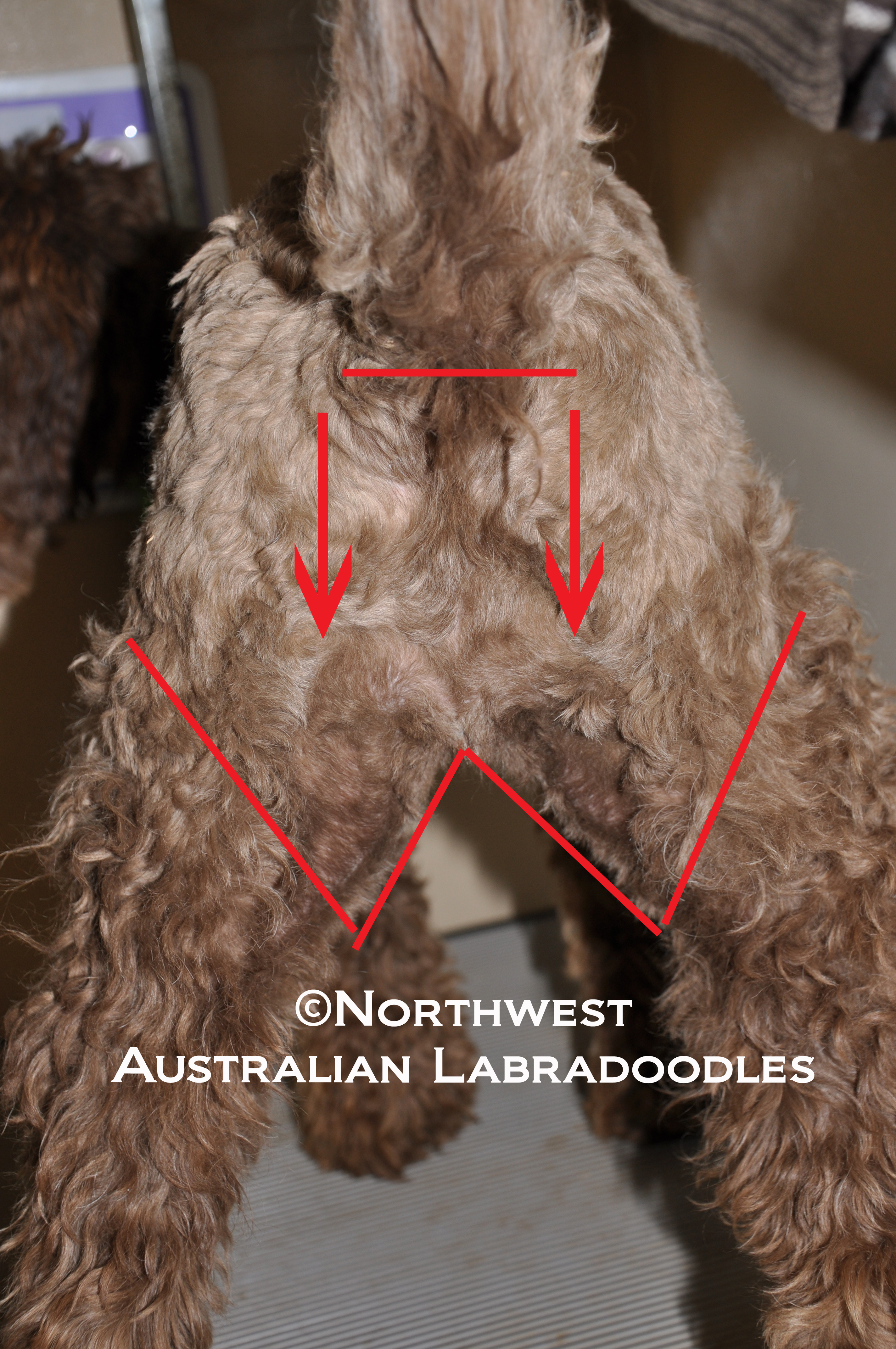 How To Clip Your Labradoodle Part 1 Northwest