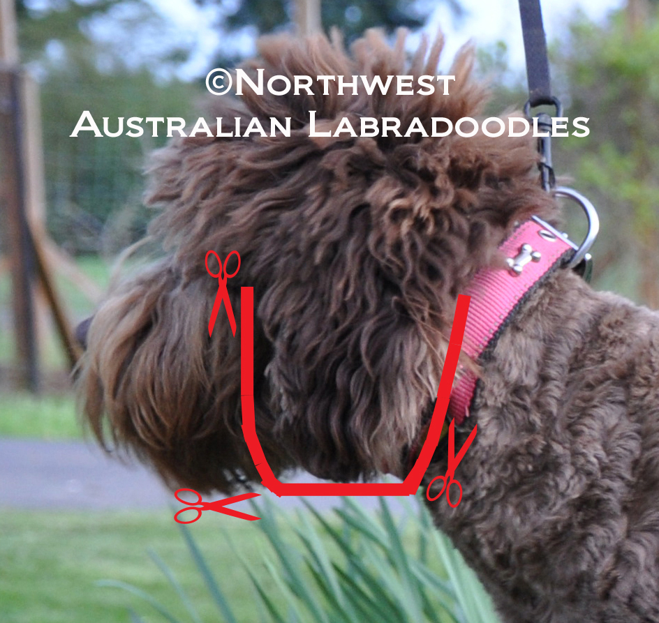 How To Clip Your Labradoodle Part 2 Northwest