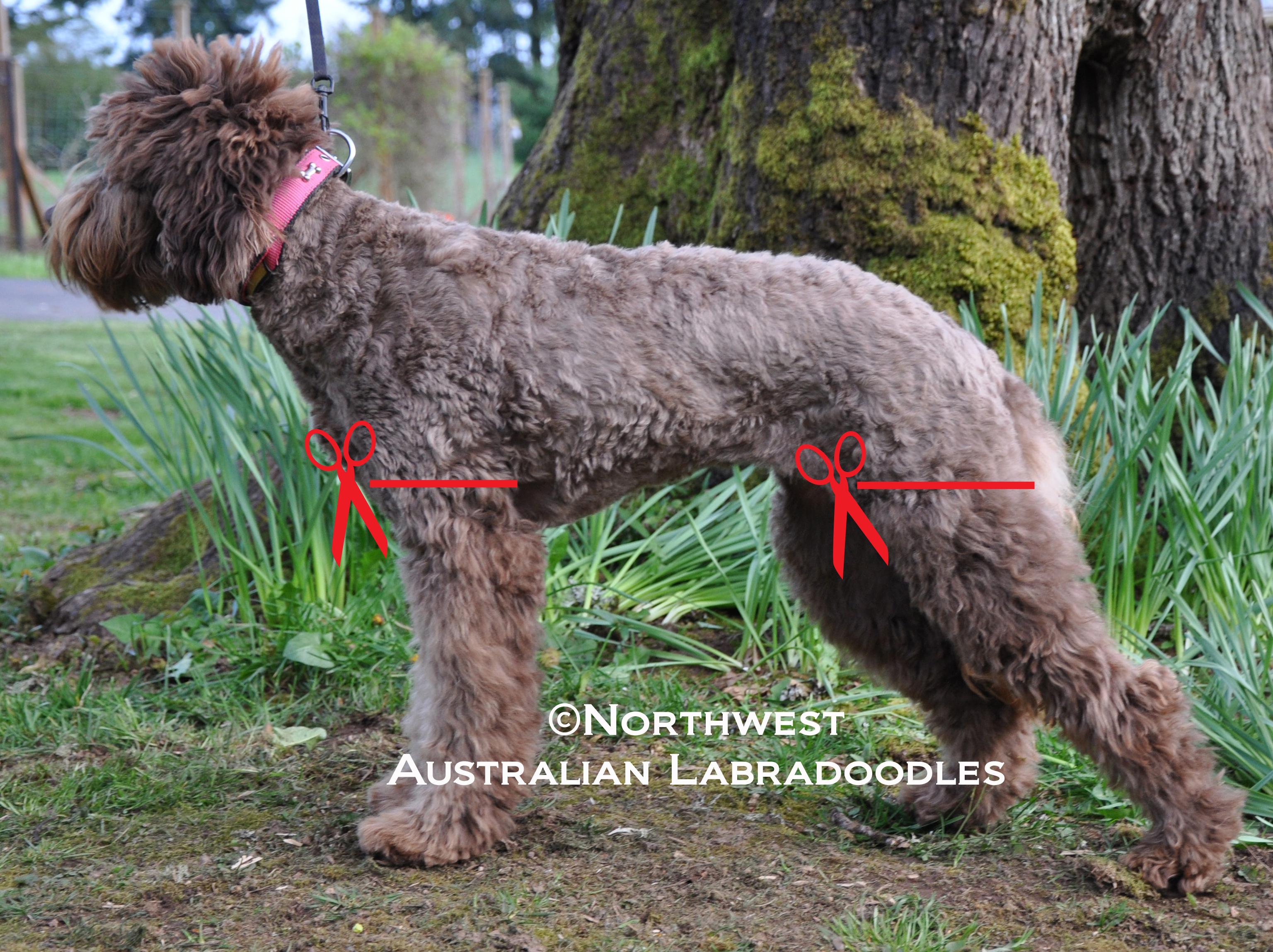 grooming your labradoodle northwest australian